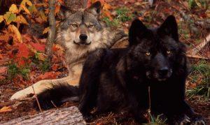8-wolf-center
