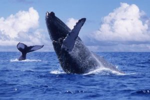 puerto-vallarta-what-to-do-whale-watching_3